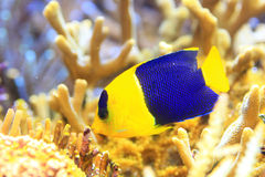 Bicolor angelfish. (Centropyge bicolor) in Okinawa, Japan stock image