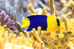 Bicolor angelfish. (Centropyge bicolor) in Okinawa, Japan Royalty Free Stock Photos