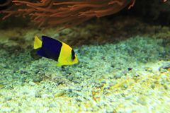 Bicolor angelfish. Floating in water Stock Photo