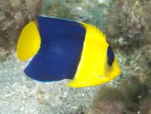 Bicolor Angelfish. In Lembeh strait Stock Image