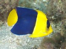 Bicolor Angelfish Stock Image