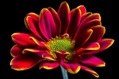 Bicolor aster flower macro stock images