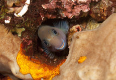 Bicolor blenny. In hole in coral reef Royalty Free Stock Photography