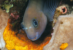 Bicolor blenny Stock Photos