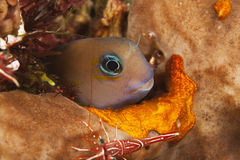 Bicolor blenny. In hole in coral reef in Bli Indonesia Royalty Free Stock Photos