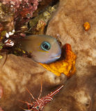 Bicolor blenny. In hole in coral reef Stock Image