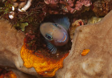 Bicolor blenny. In hole in coral reef Royalty Free Stock Images