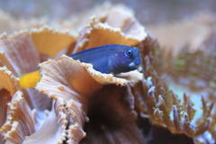 Bicolor blenny. The bicolor blenny lying on the marine plant Stock Photography