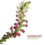 bicolor blomma Fotografering för Bildbyråer