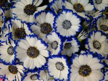 Bicolor cineraria flowers blue and white. A popular plant of the daisy family, having brightly colored ornamental flowers and existing in many cultivated Stock Image