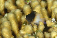 Bicolor Damselfish - Bonaire Royalty Free Stock Image