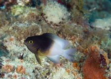Bicolor Damselfish-Stegastes partitus Royalty Free Stock Photography
