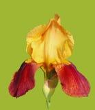 Bicolor de la flor del iris barbudo aislado foto de archivo libre de regalías