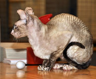Bicolor devon rex cat royalty free stock photos
