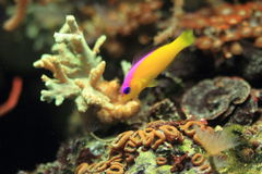 Bicolor dottyback. Floating in water Royalty Free Stock Photos