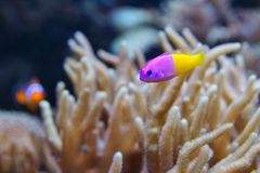 Bicolor Dottyback Pictichromis paccagnella, also called the Royal Dottyback or False Gramma. Is a fish commonly kept in marine aquariums Stock Image