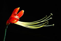 bicolor eucrosia Стоковая Фотография