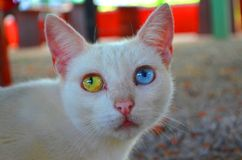 Bicolor eye in  cat. Cat wirh different eye& x27;s color. One blu, the other greeen Stock Images