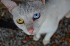 Bicolor eye in  cat. Cat wirh different eye& x27;s color. One blu, the other greeen Royalty Free Stock Image