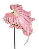 Bicolor för Caladium med det rosa bladet och den gröna åderFlorida älsklingen, rosa Caladiumlövverk som isoleras på vit bakgrund Royaltyfri Fotografi