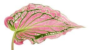Bicolor för Caladium med det rosa bladet och den gröna åderFlorida älsklingen, rosa Caladiumlövverk som isoleras på vit bakgrund arkivfoto