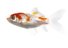 Bicolor fish Royalty Free Stock Photo