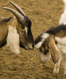Bicolor goats. Baby goats playing in the farm Royalty Free Stock Photos
