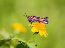 Bicolor grasshopper, Royalty Free Stock Image