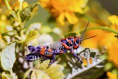 Bicolor grasshopper, Stock Photo