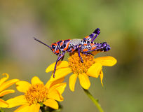 Bicolor grasshopper, Royalty Free Stock Photography