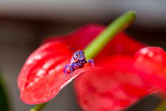 Bicolor grasshopper, Stock Images