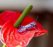 Bicolor grasshopper, Stock Photos