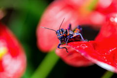 Bicolor grasshopper, Royalty Free Stock Images
