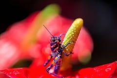 Bicolor grasshopper, Stock Photography