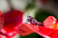 Bicolor grasshopper, Royalty Free Stock Photos