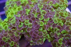 Bicolor Hammer coral tentacles purple and green. Close up of euphyllia ancora polyps Royalty Free Stock Image