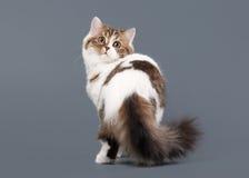 Bicolor harlequin scottish highland kitten with white on gray ba Stock Photos