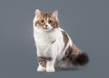 Bicolor harlequin scottish highland kitten with white on gray ba Royalty Free Stock Photos