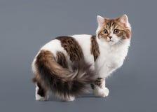 Bicolor harlequin scottish highland kitten with white on gray ba Royalty Free Stock Photo