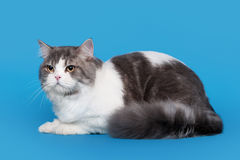 Bicolor highland straight cat. On sky blue background Royalty Free Stock Photos