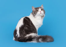 Bicolor highland straight cat. On sky blue background Stock Photography