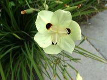 Bicolor Iris, Yellow Iris, Dietes bicolor Royalty Free Stock Photography