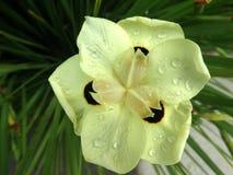 Bicolor Iris, Yellow Iris, Dietes bicolor Royalty Free Stock Photos