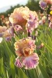Bicolor irys na kwiatu łóżku Obrazy Stock