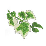 Bicolor ivy sketch. Bicolor ivy Hand drawn sketch isolated on white Stock Photo