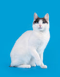Bicolor japanese bobtail. On sky blue background Royalty Free Stock Photography