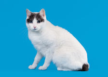 Bicolor japanese bobtail on sky blue. Background Royalty Free Stock Photography