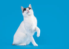 Bicolor japanese bobtail on sky blue Stock Image