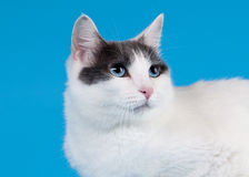 Bicolor japanese bobtail on sky blue Stock Photography