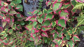 Bicolor leaves. Red green leaves on stone Royalty Free Stock Images